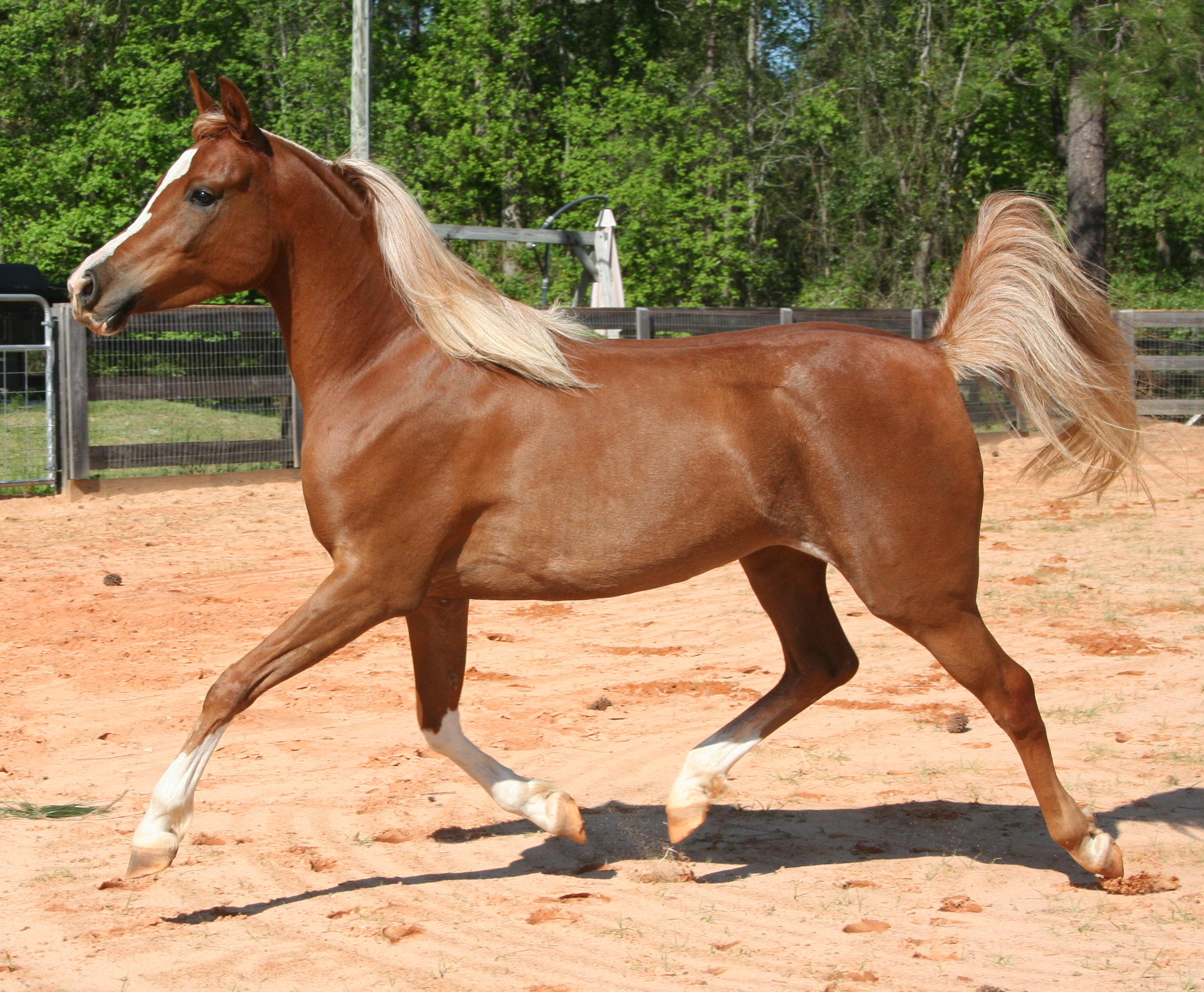 Chestnut arabian horses - photo#1