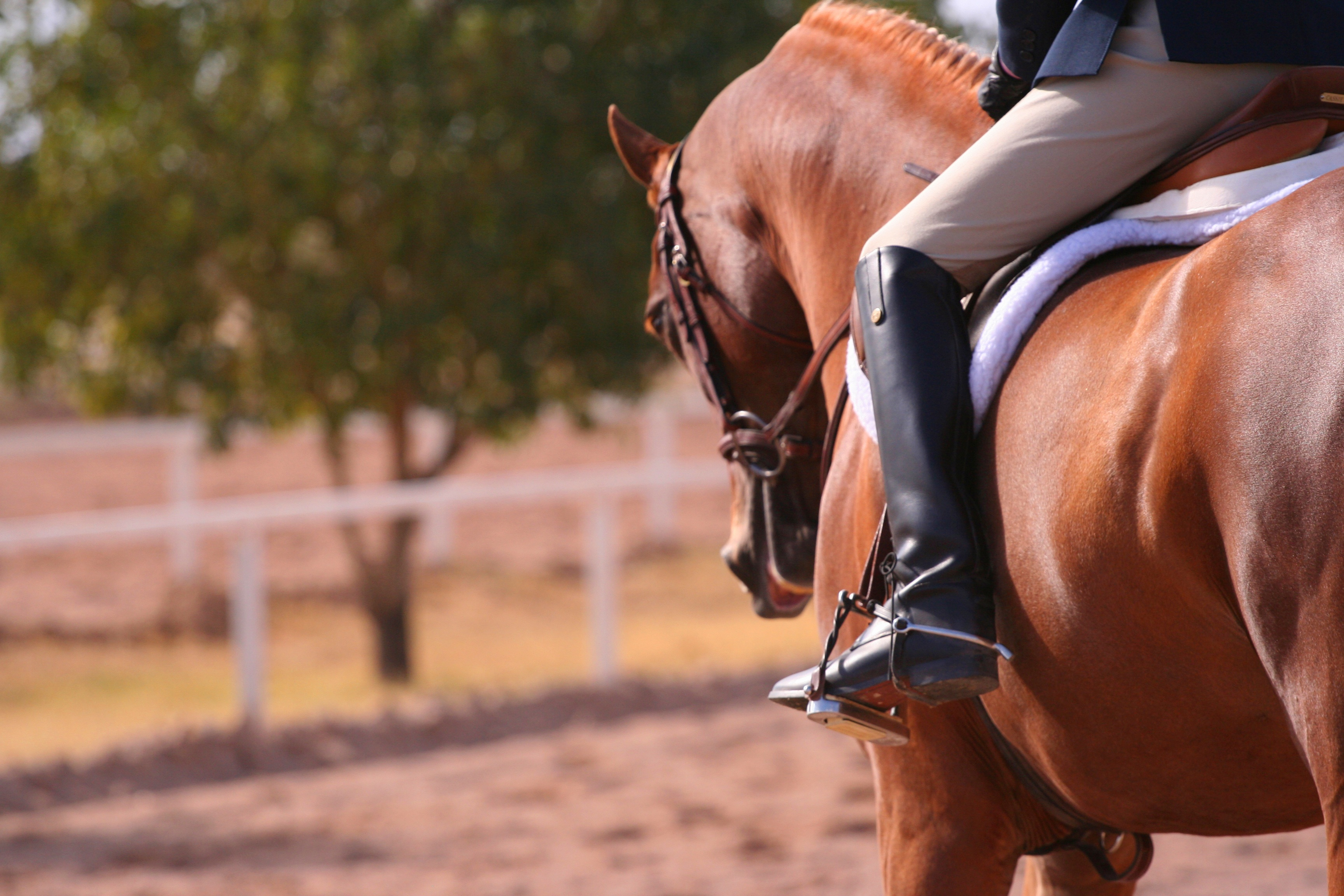 Al Ameen Arabians: Egyptian Arabian Horse Breeders » Services